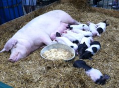 Check out the livestock at the state fair!