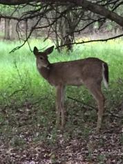 Stage deer