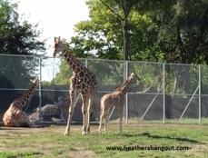 giraffes_zoo
